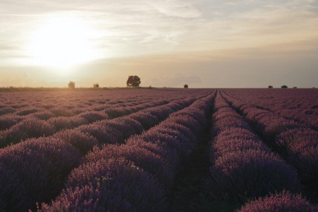 lavender fields in Bulgaria